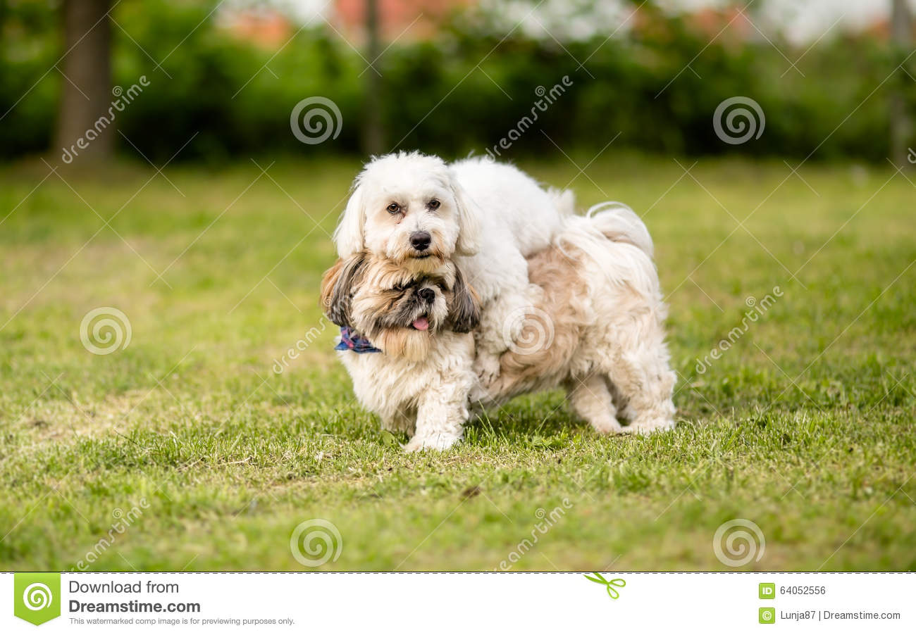 Shih Tzu And Coton De Tulear Best Friends Stock Photo Image Of