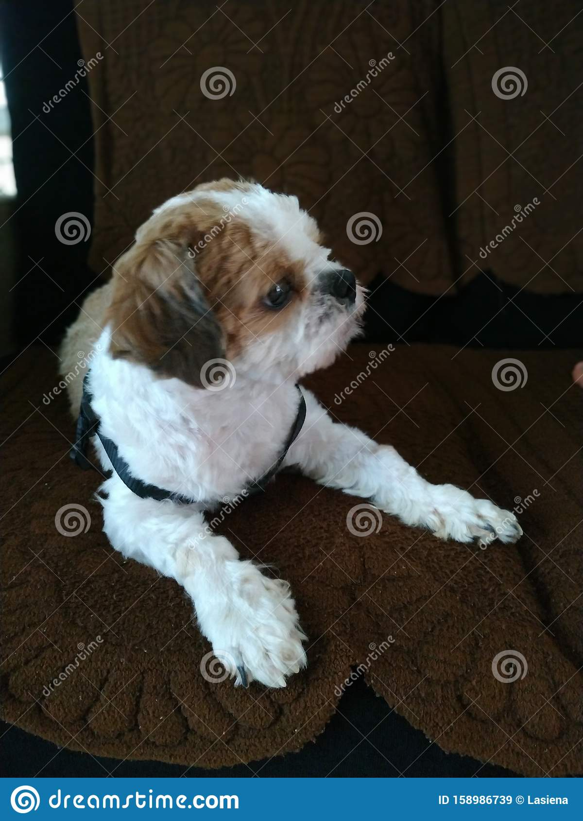 Shih Tzu Cute Puppy Dog White And Brown Stock Image Image Of Animal Cute 158986739