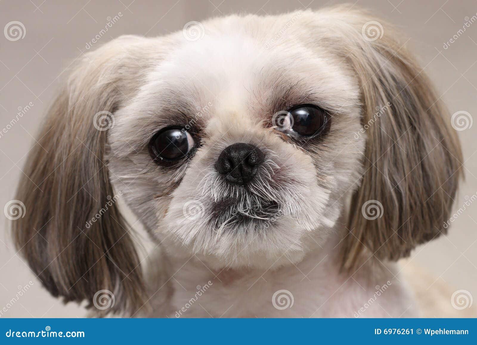 Shih Tzu Dog Stock Image. Image Of Eyes, Little, Walther