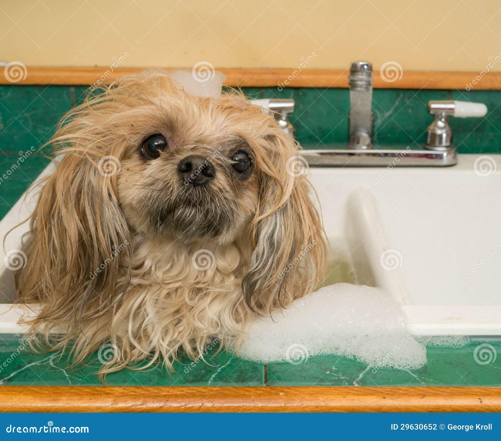 Shih Tzu dog bath in sink
