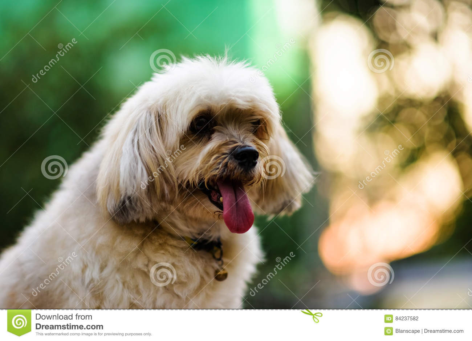 Shih Tzu Dog with bokeh