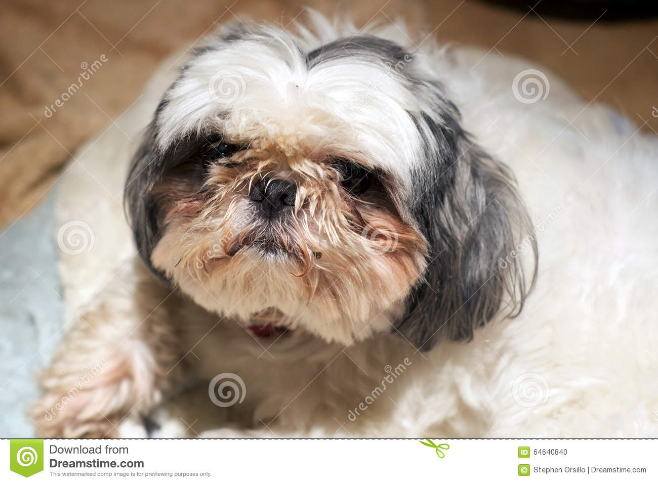 Shih Tzu dog with dirty face