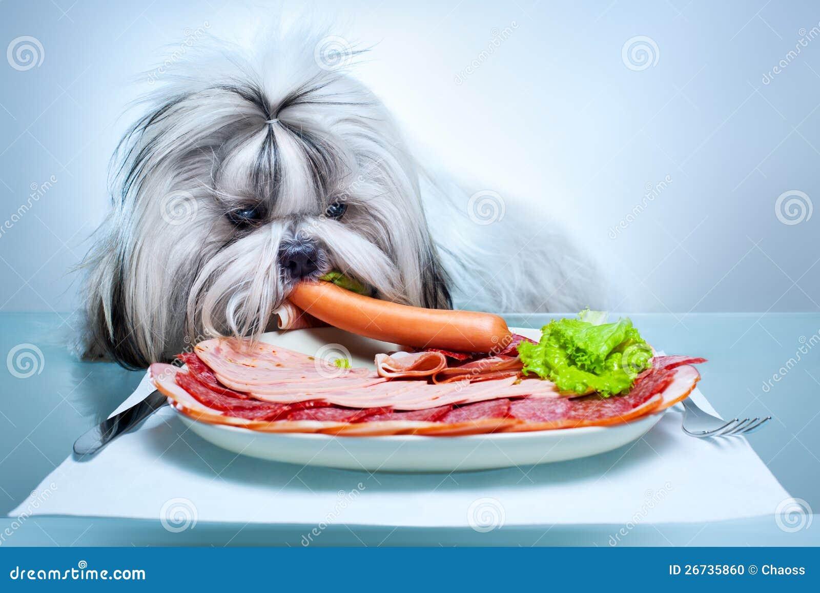 Shih tzu dog eating