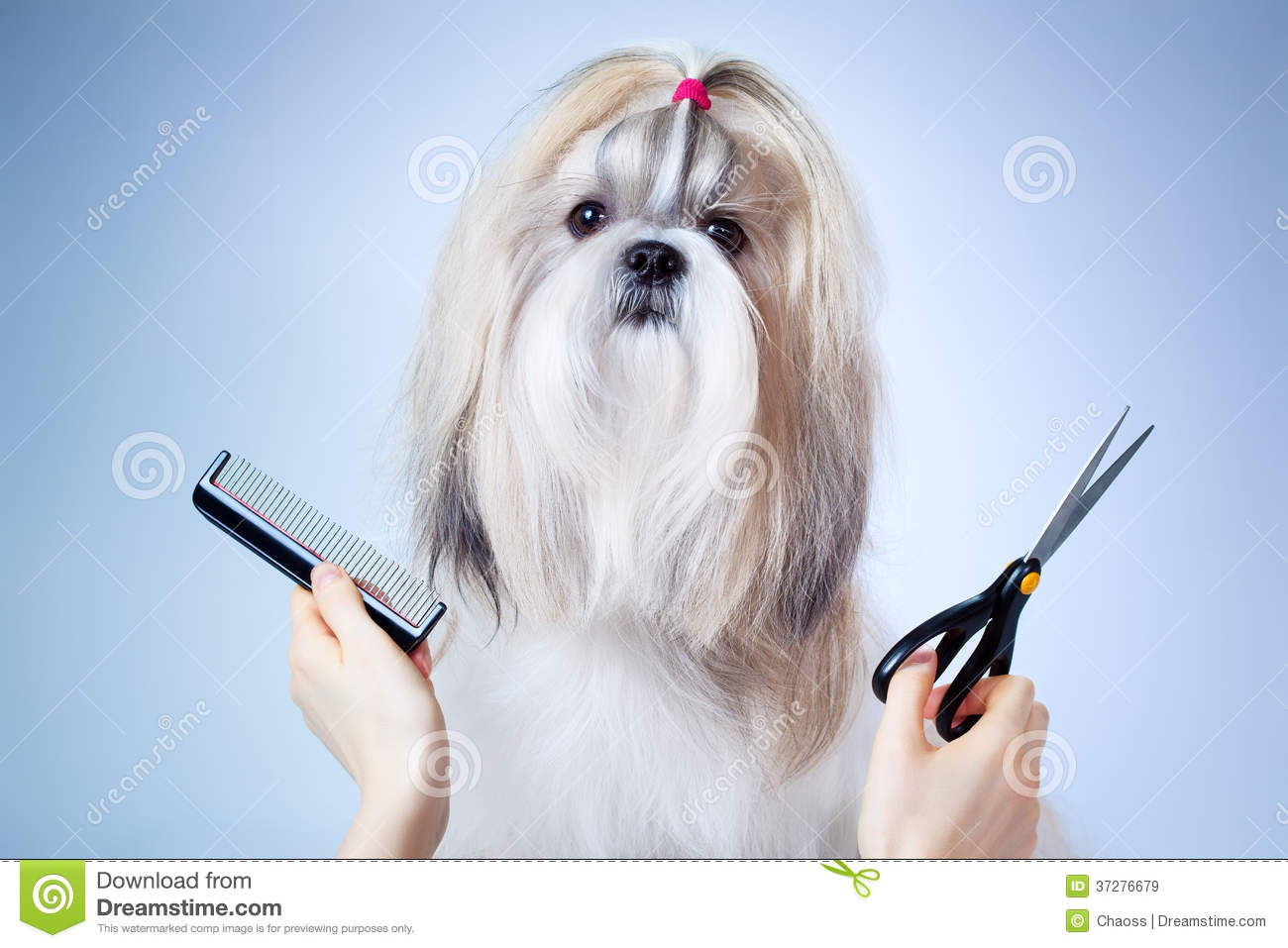 Shih Tzu Dog Grooming Royalty Free Stock Images - Image: 37276679