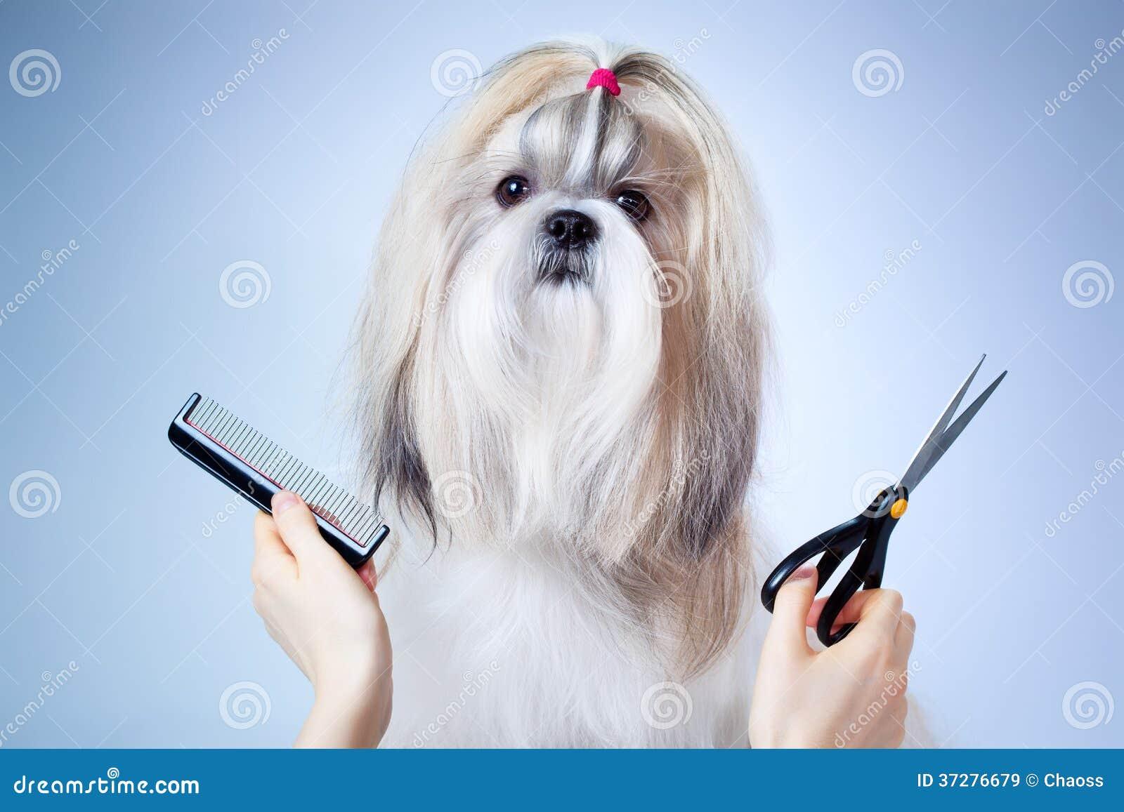 Shih Tzu Dog Grooming Stock Image Image Of Shih Shihtzu 37276679
