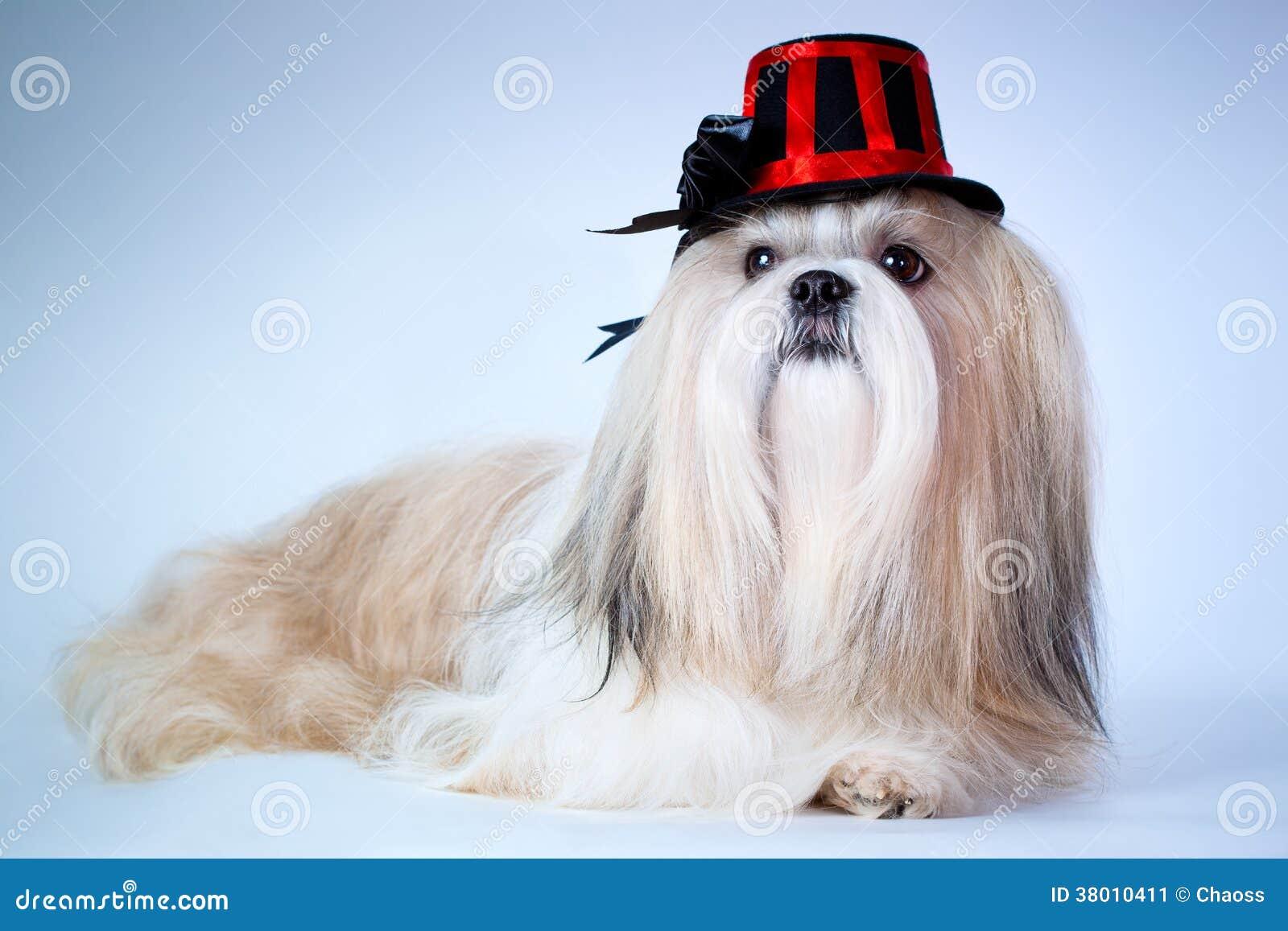 Shih tzu dog in hat
