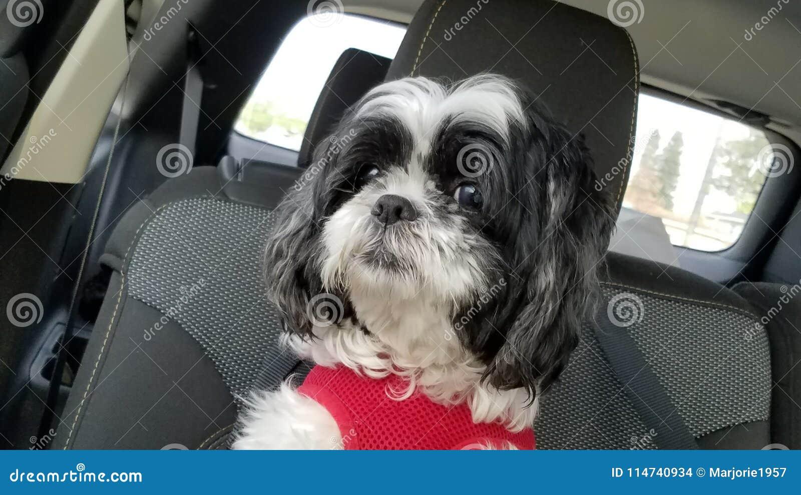 Shih tzu dog inside car