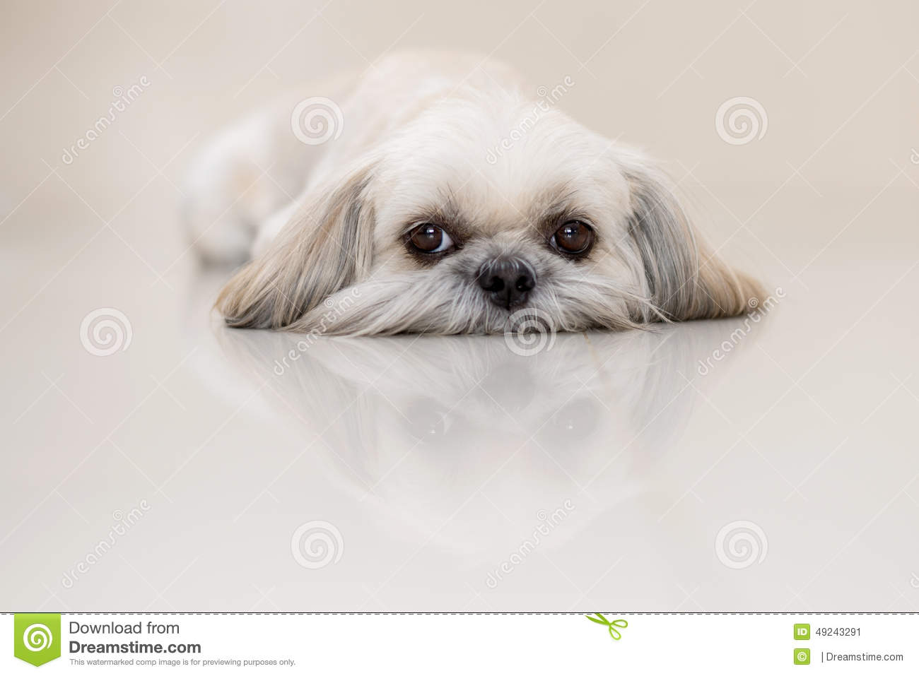 Shih Tzu Dog The Little Lion Stock Image Image Of Brown Name 49243291