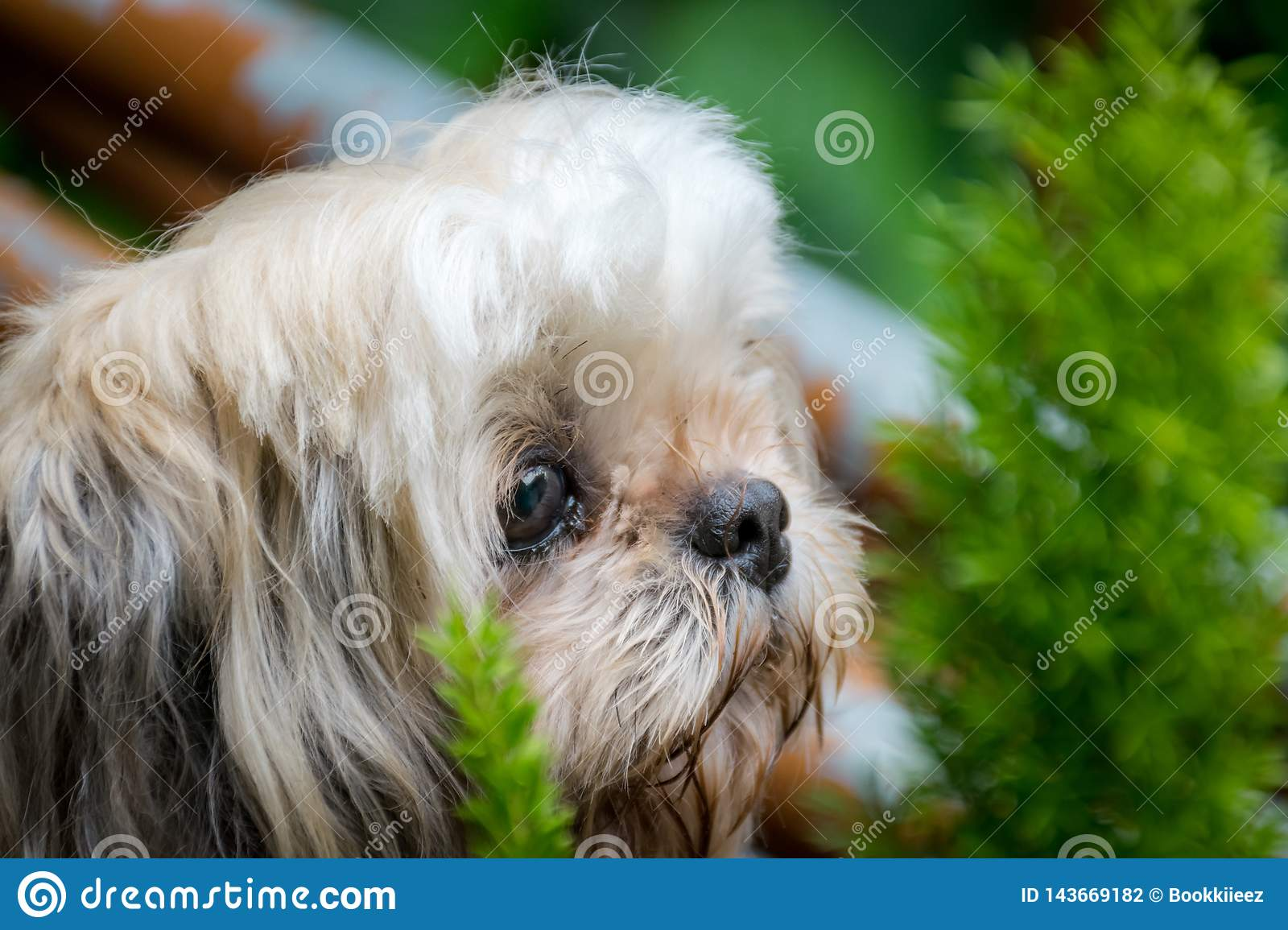 Shih-Tzu dog with little tree in background.