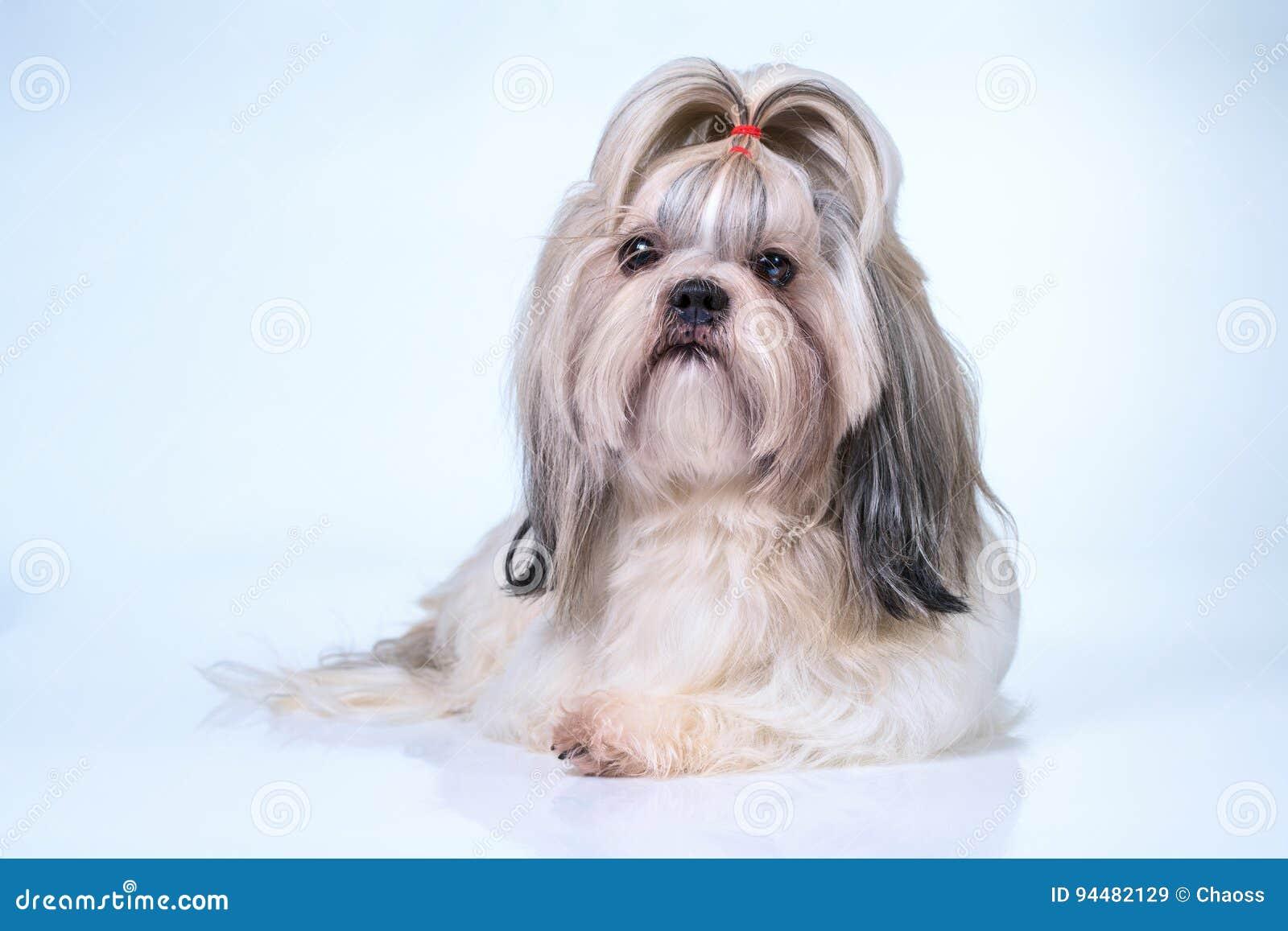 Shih Tzu Dog Stock Image Image Of Bright Domestic Long 94482129