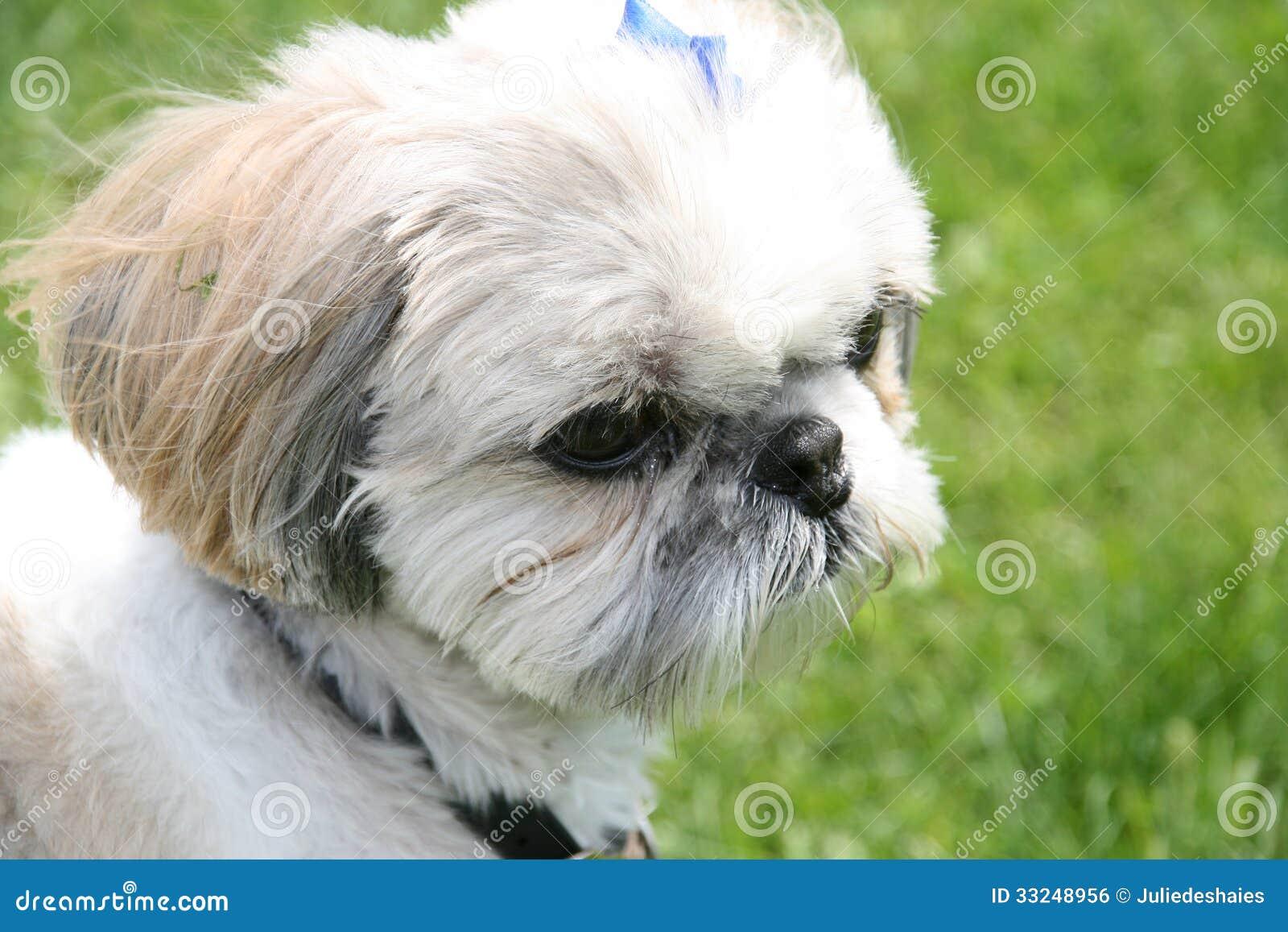 Shih Tzu dog portrait