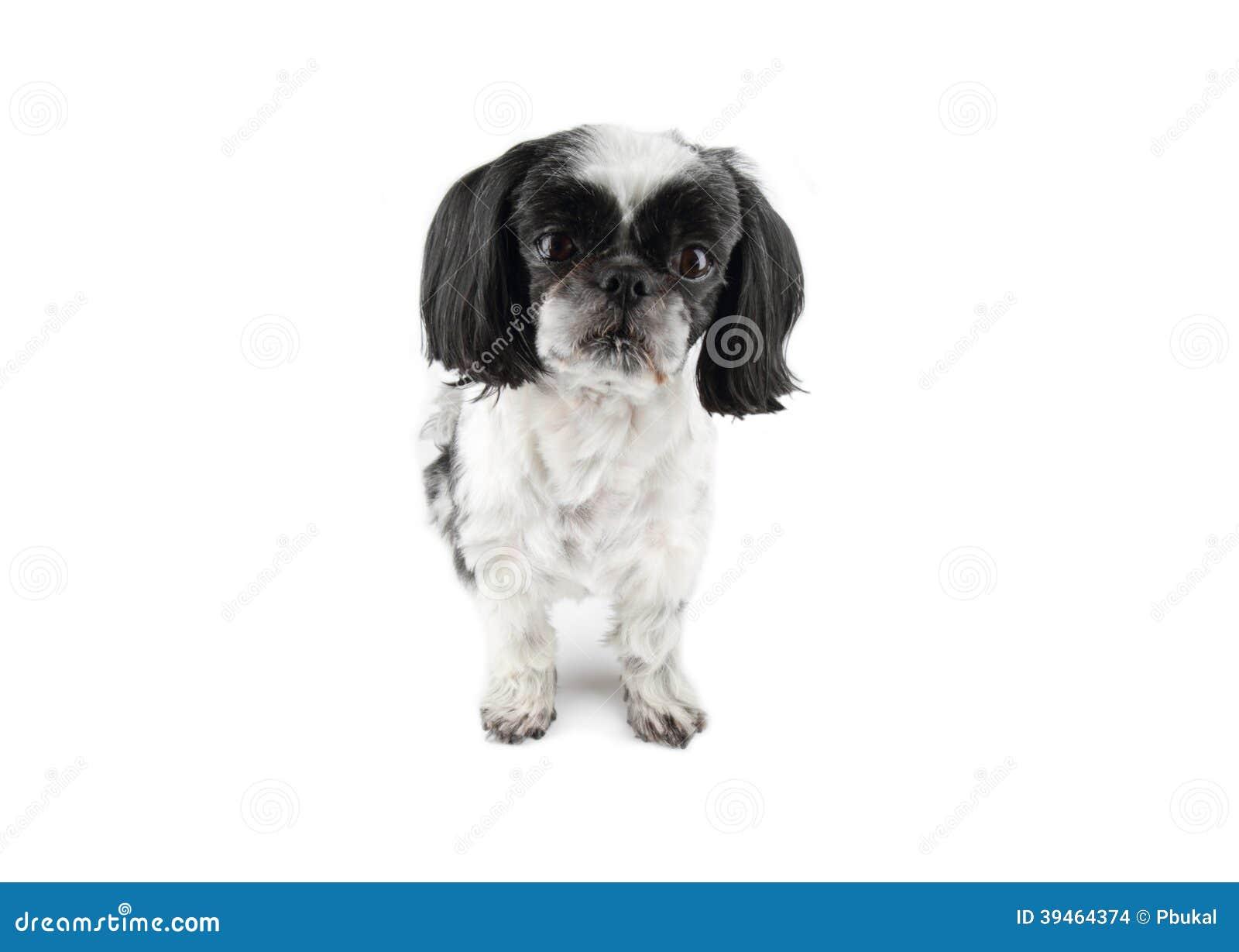 Shih-tzu dog