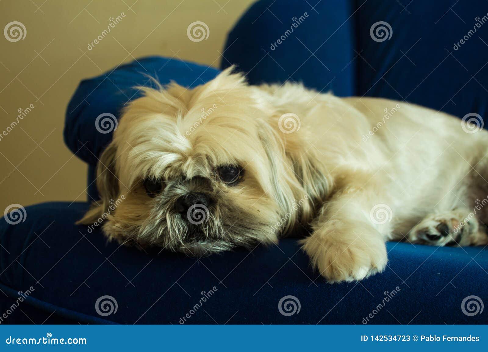 Shih Tzu Dog Relaxing op de Bank