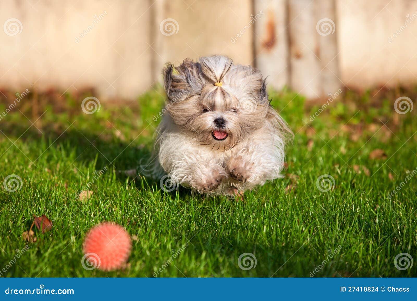 Shih tzu dog running