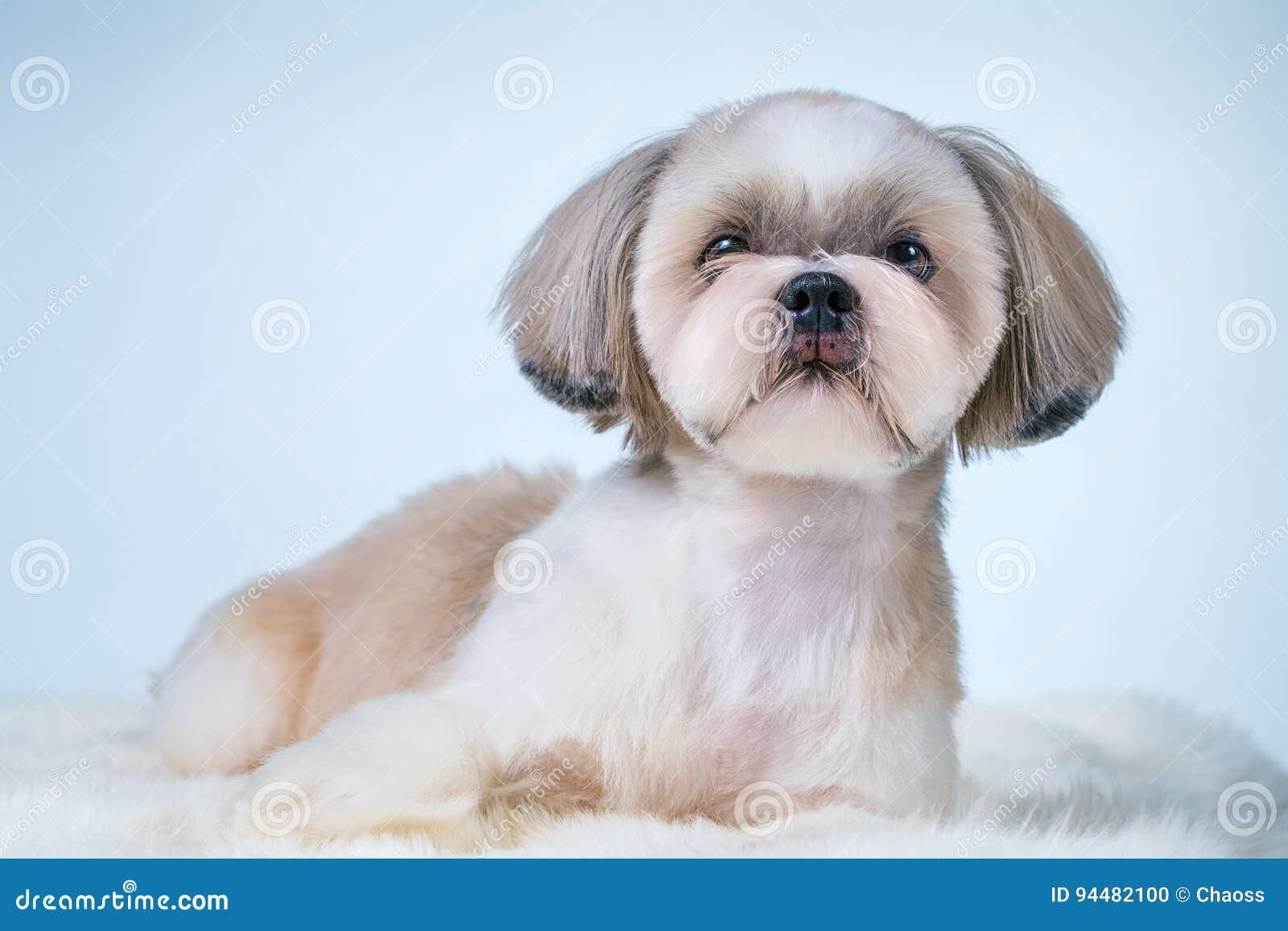 Shih Tzu Dog Stock Photo Image Of Pedigree Carpet Animal 94482100