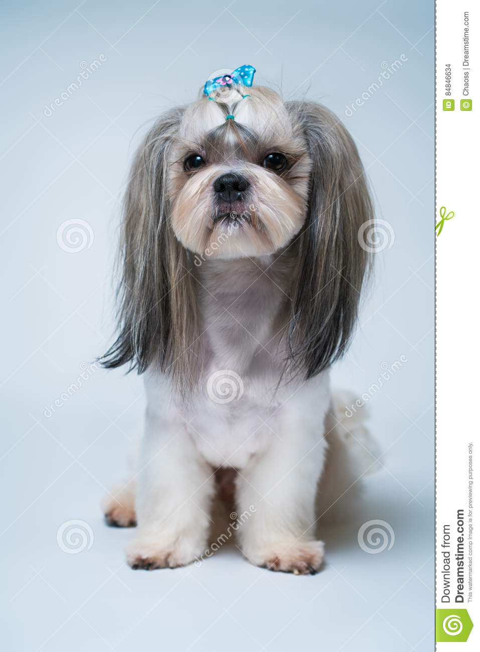 Shih Tzu Dog Stock Photo Image Of Studio Breed Front 84846634