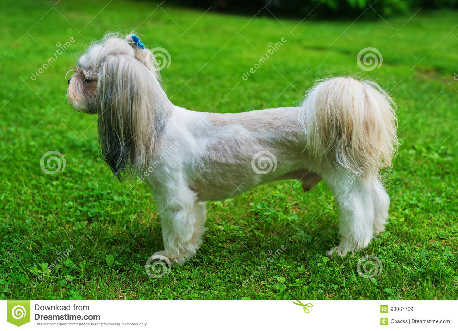 Shih Tzu Dog Stock Image Image Of Countryside Purebred 93067769