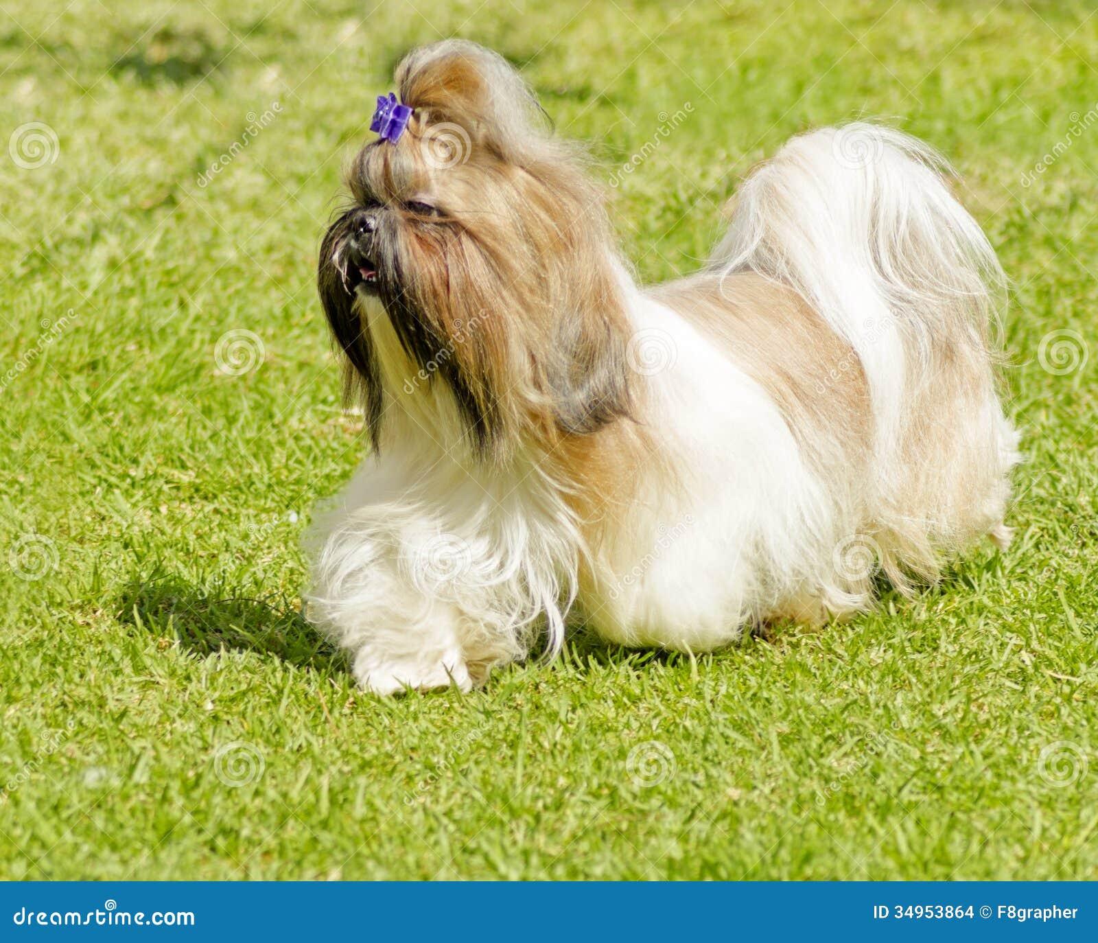 Vector sketch dog shih tzu breed stock vector illustration of.