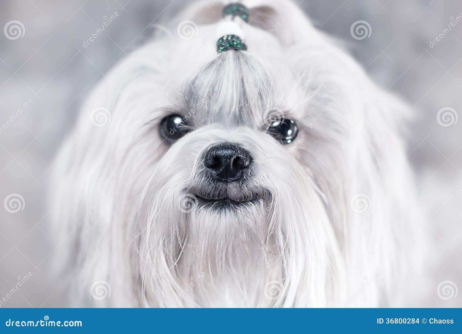 Shih tzu dog smiling