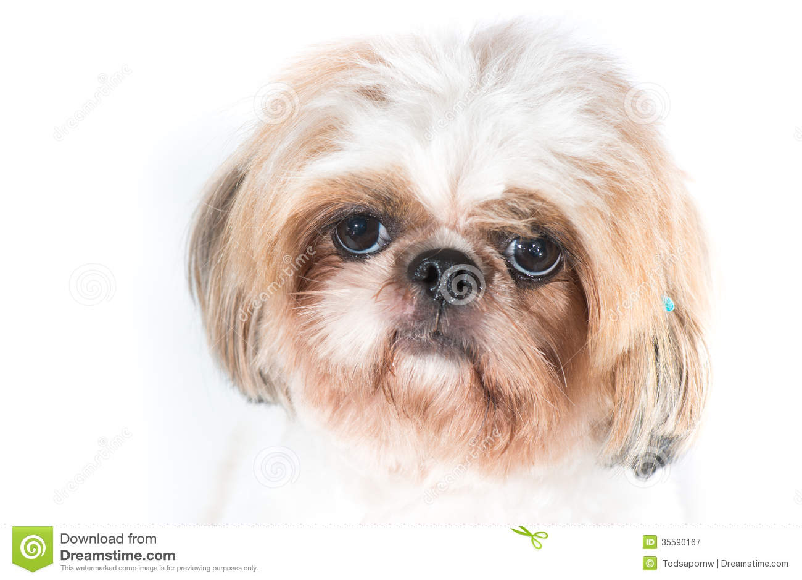 Shih tzu dog on a white background