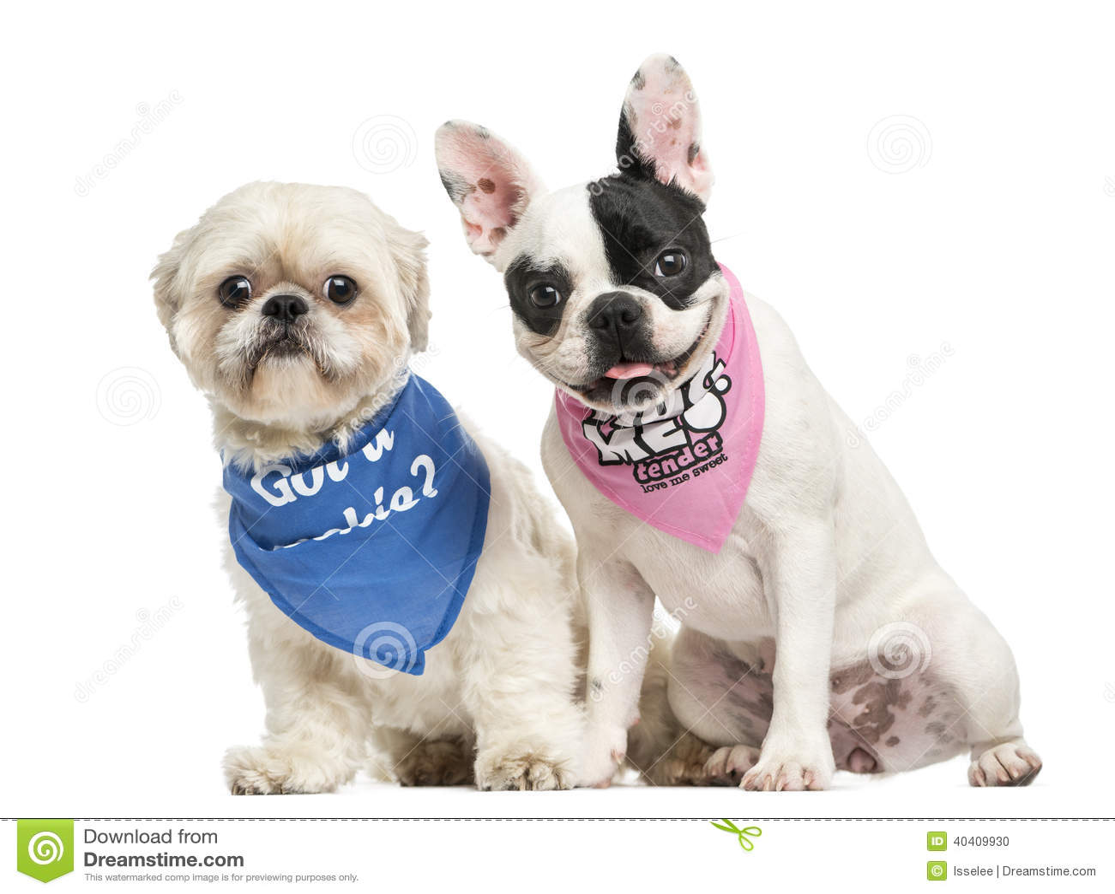Shih Tzu And French Bulldog Puppy Wearing Bandana Sitting ...