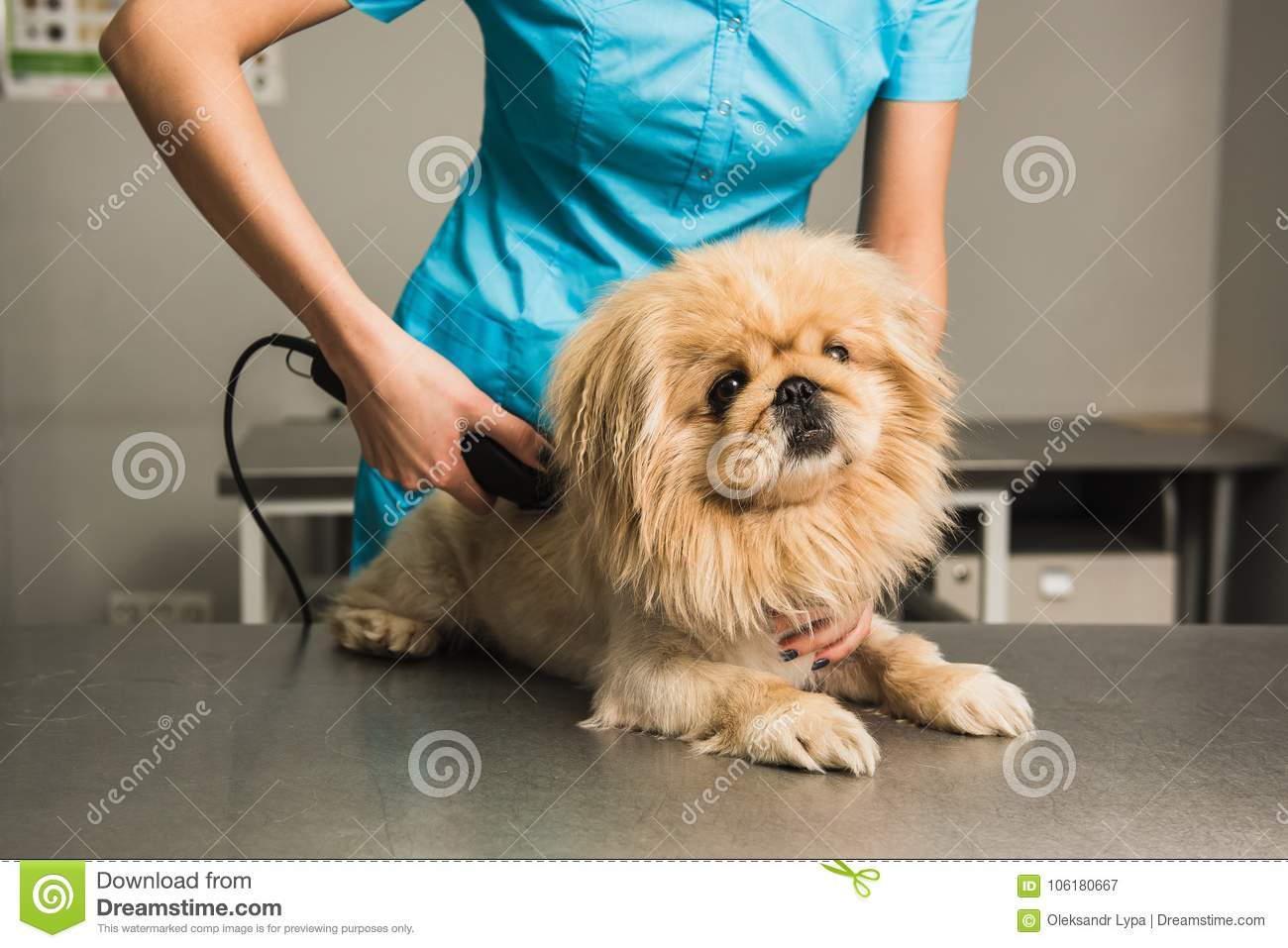 Shih Tzu Getting Haircut From Female Groomer Stock Image Image Of