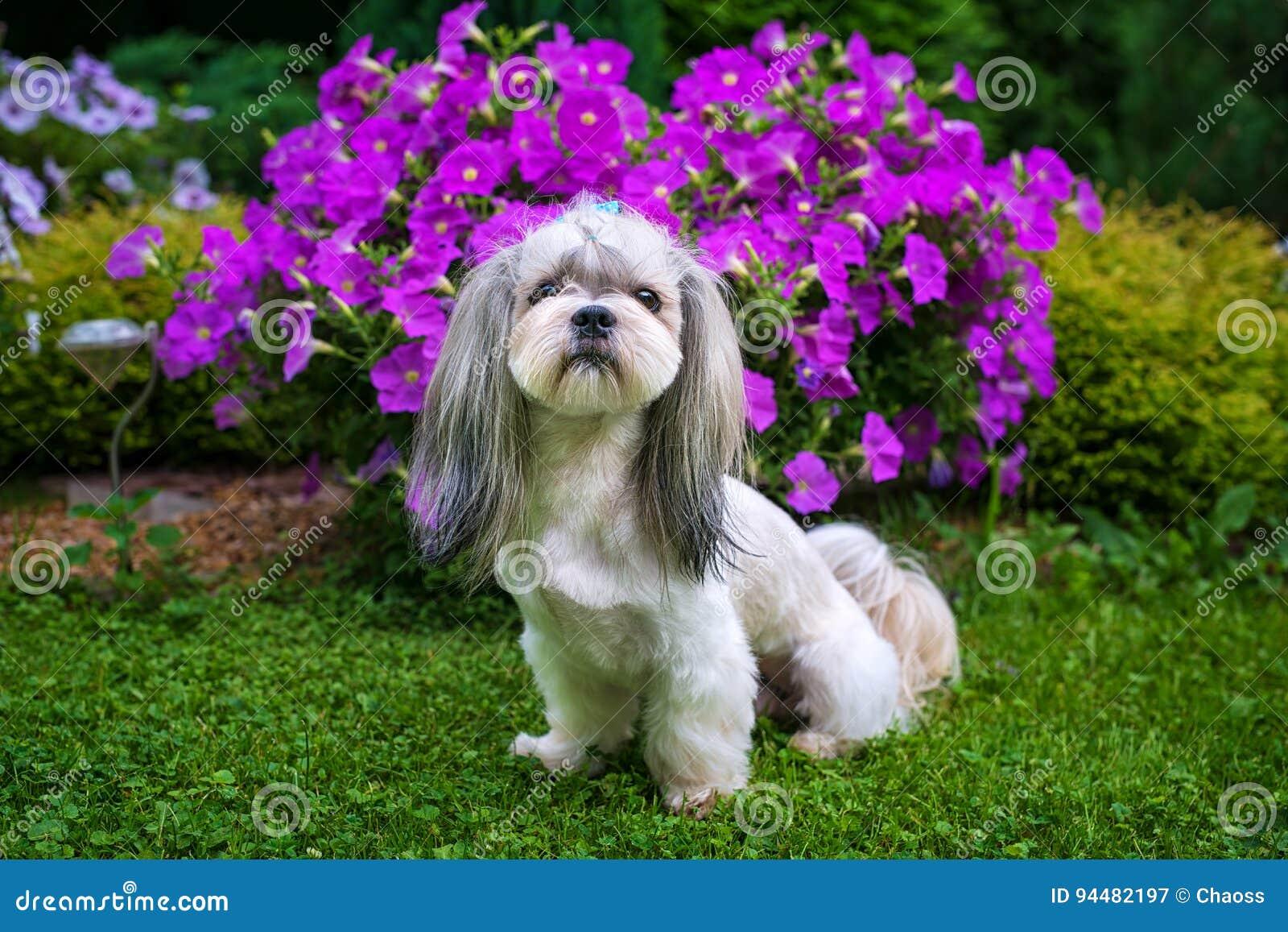 Shih Tzu-hond in tuin