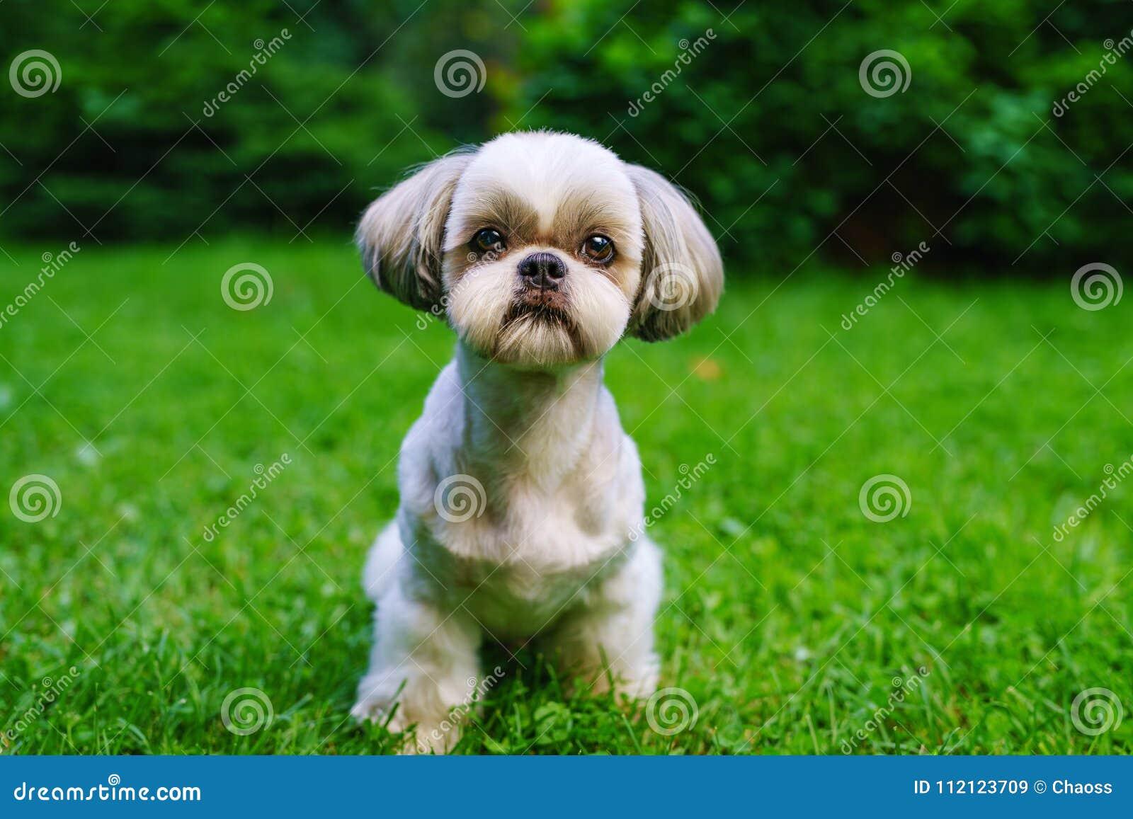 Shih Tzu Hund Stockbild Bild Von Vibrant Landschaft 112123709