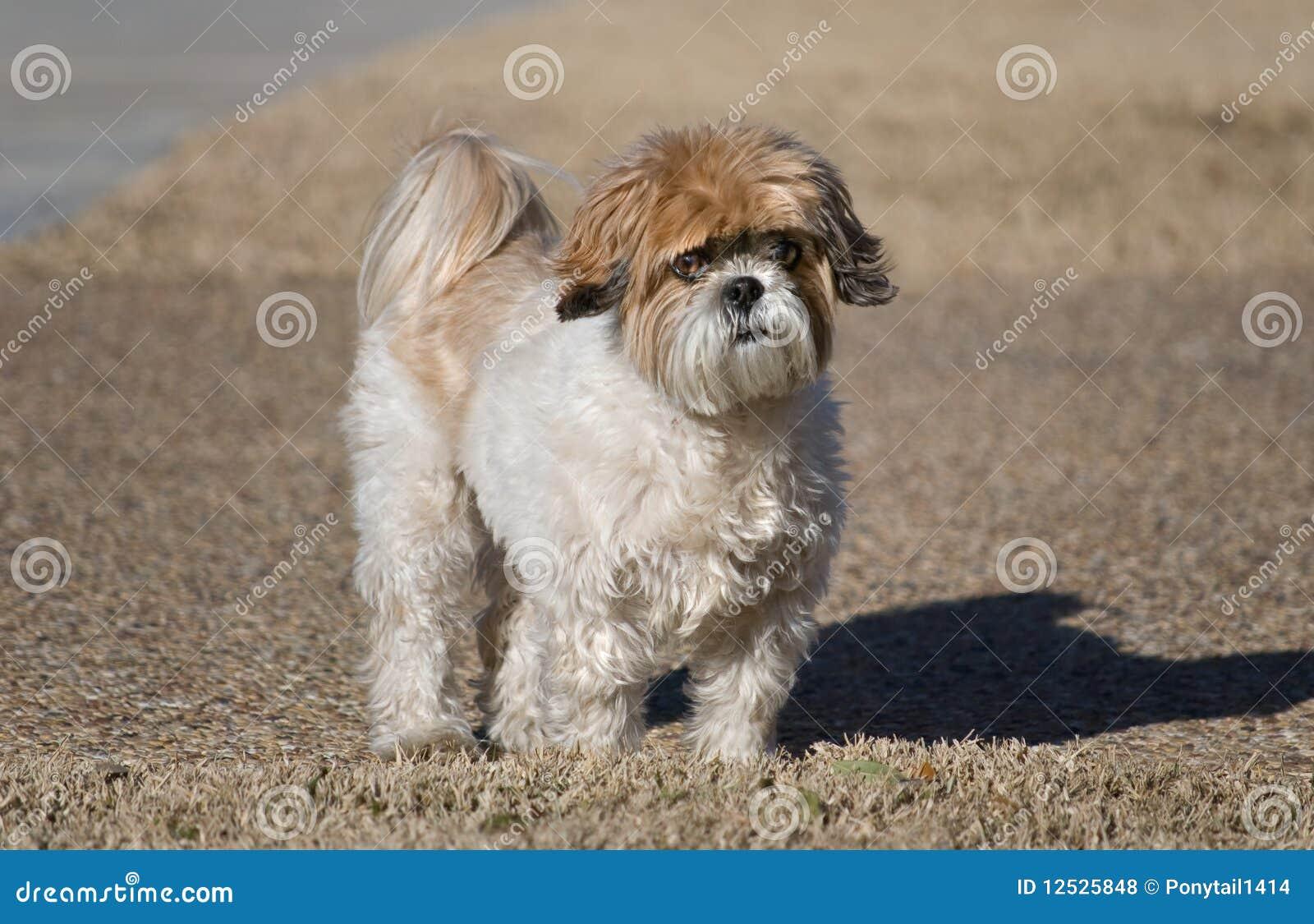 Shih-Tzu Hund stockfoto. Bild von brut, pflegen, sonnig - 12525848