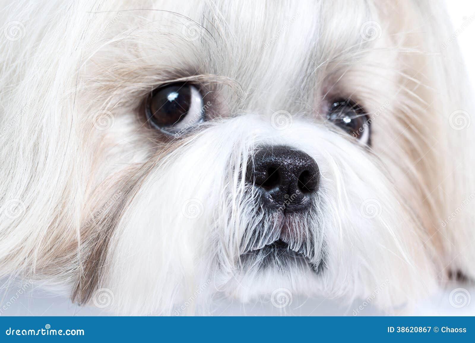 Shih-tzu Hund