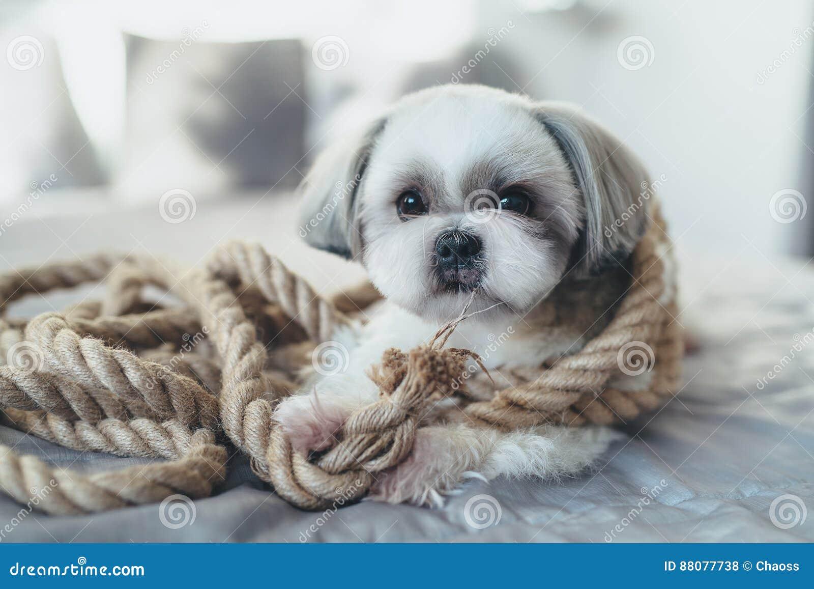 Shih Tzu Hund