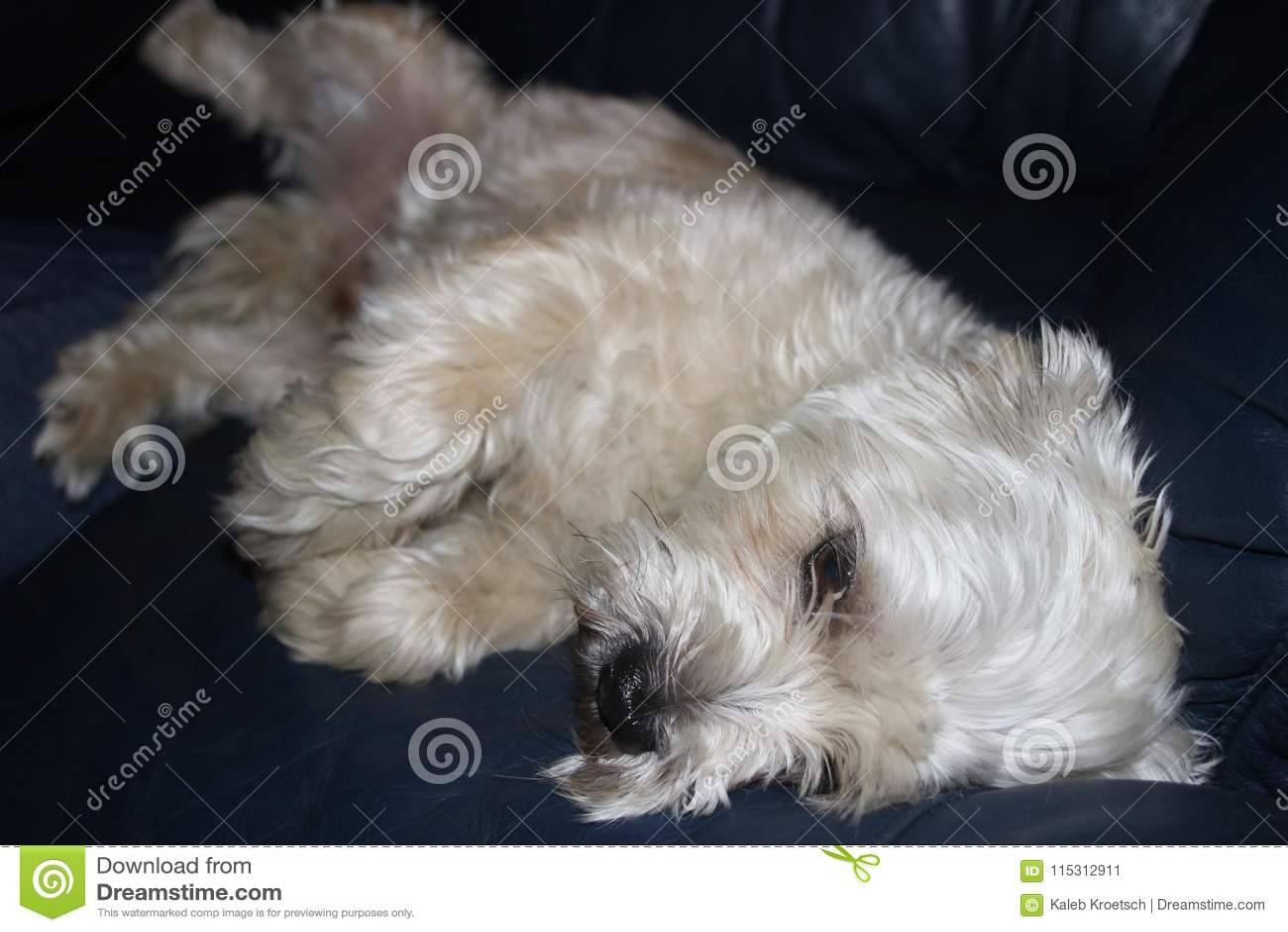 Shih-tzu Hund ist traurige Niederlegung des Blickes sehr