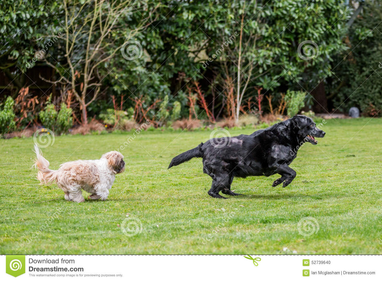 Garden Labrador Playing Shih Tzu ...