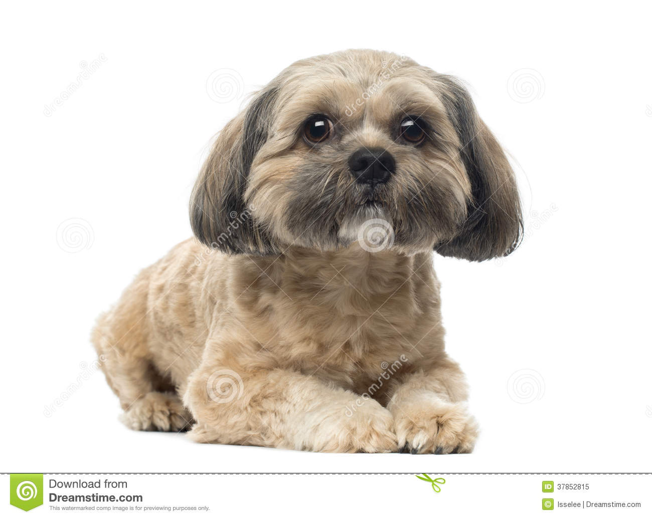 Shih Tzu Lying Down Looking At The Camera 1 Year Old Stock Image