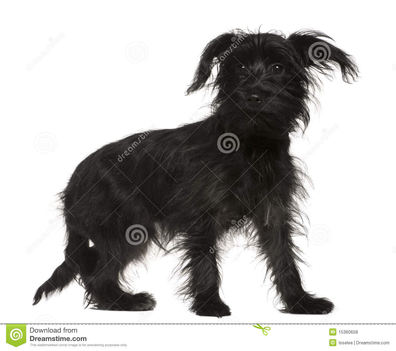 Shih Tzu Mixed With A Yorkshire Terrier Stock Photo Image Of Alert