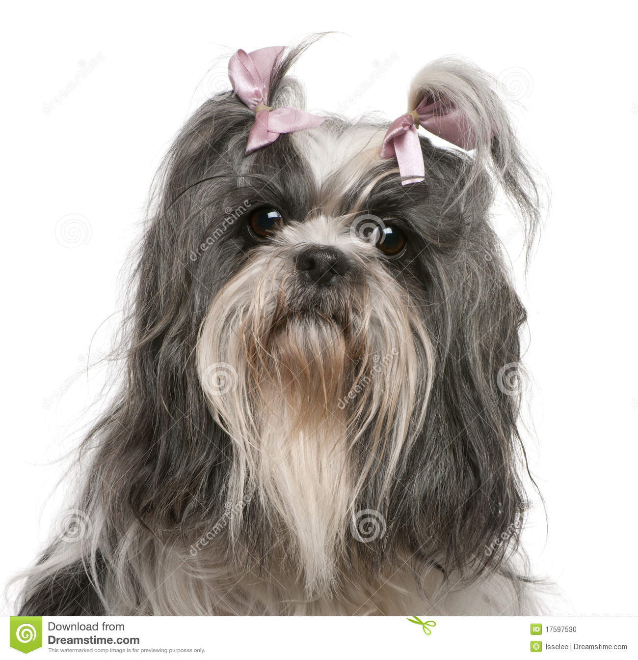Shih Tzu With Pink Bows In Hair 4 Years Old Stock Photo