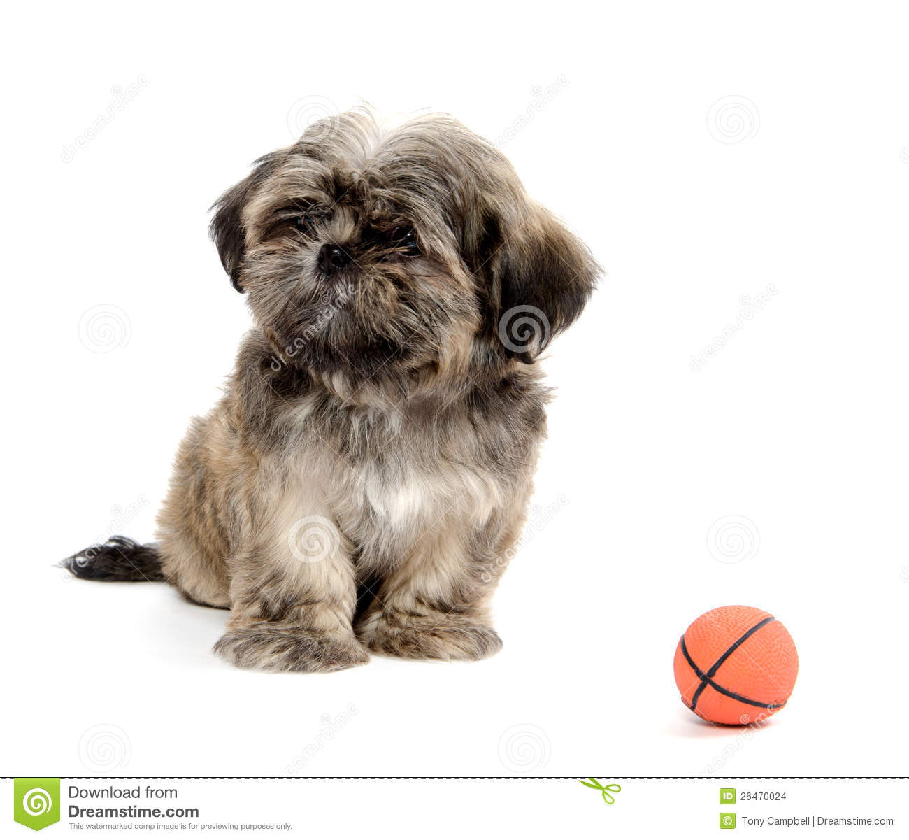 1300x1201px Shih Tzu Wallpapers and Screensavers ...