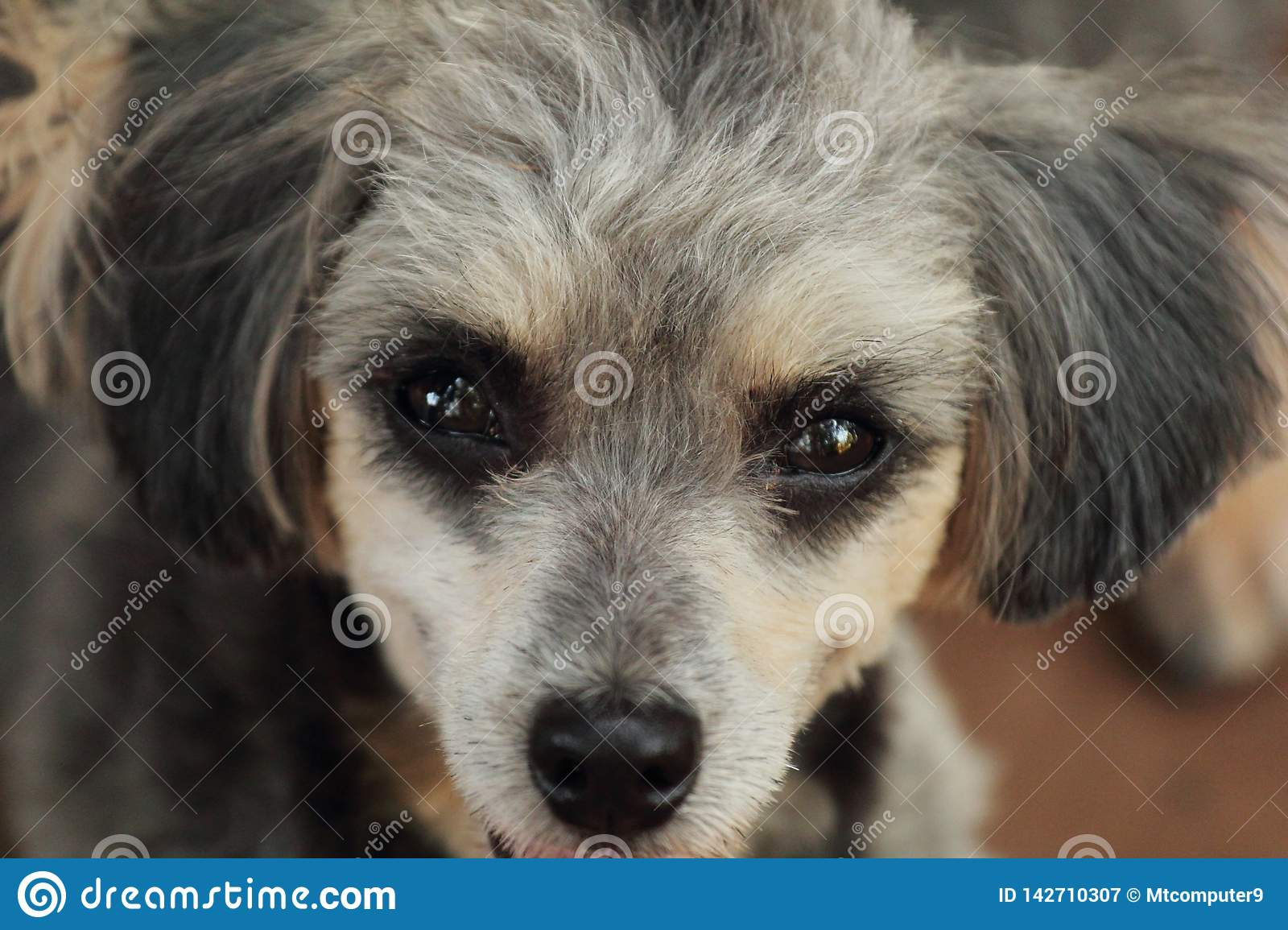 Shih Tzu Poodle Stock Image Image Of White Dogs Cute 142710307