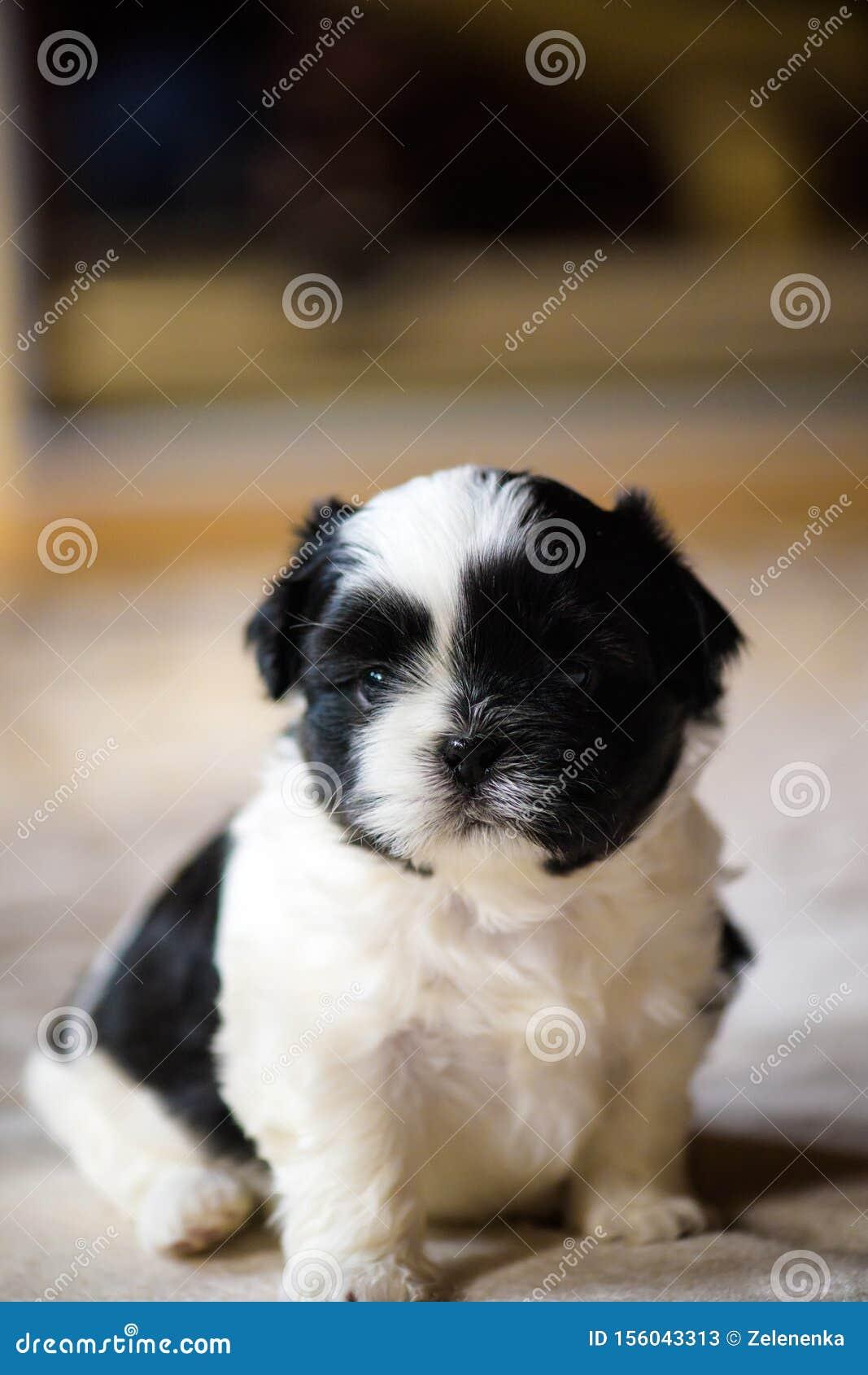 Shih Tzu Puppies Stock Image Image Of Outside Animal 156043313