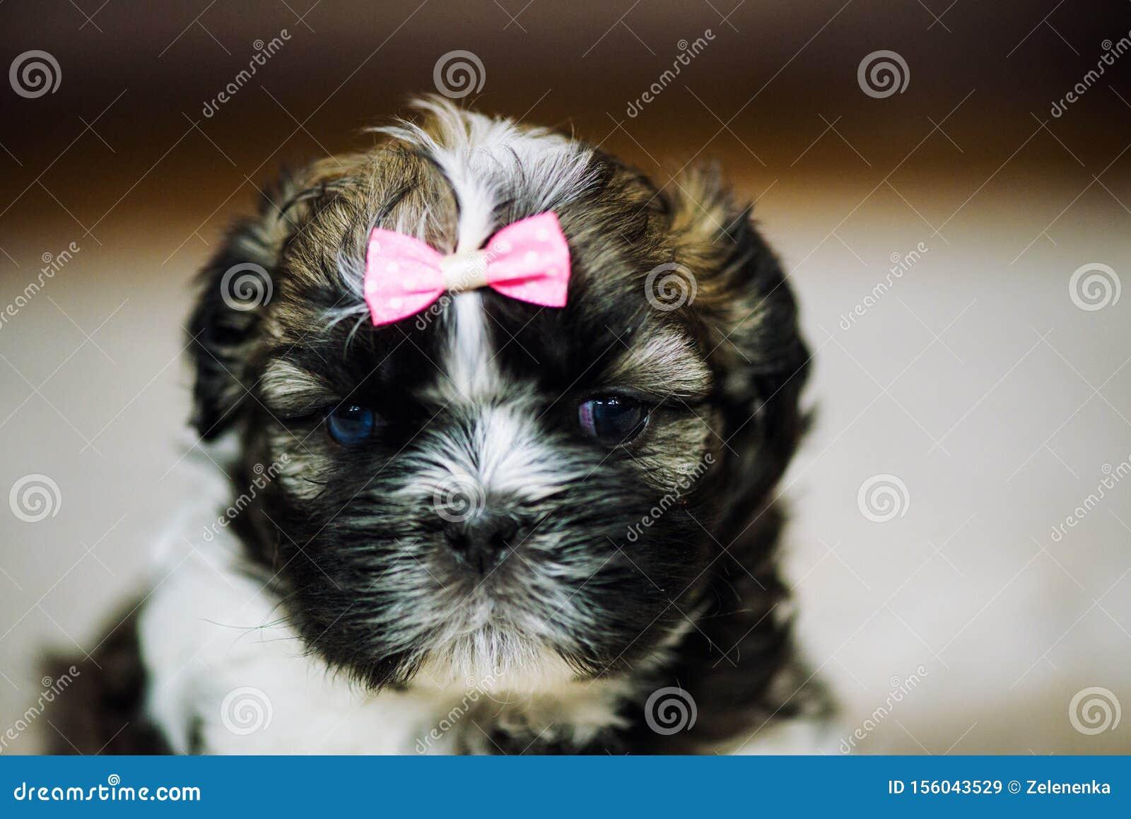 Shih Tzu Puppies Stock Image Image Of Animal Chair 156043529