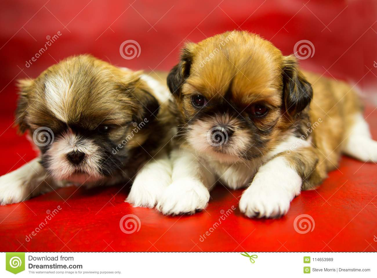 Shih Tzu Puppies On A Red Background Stock Image Image Of Oldest China 114653989