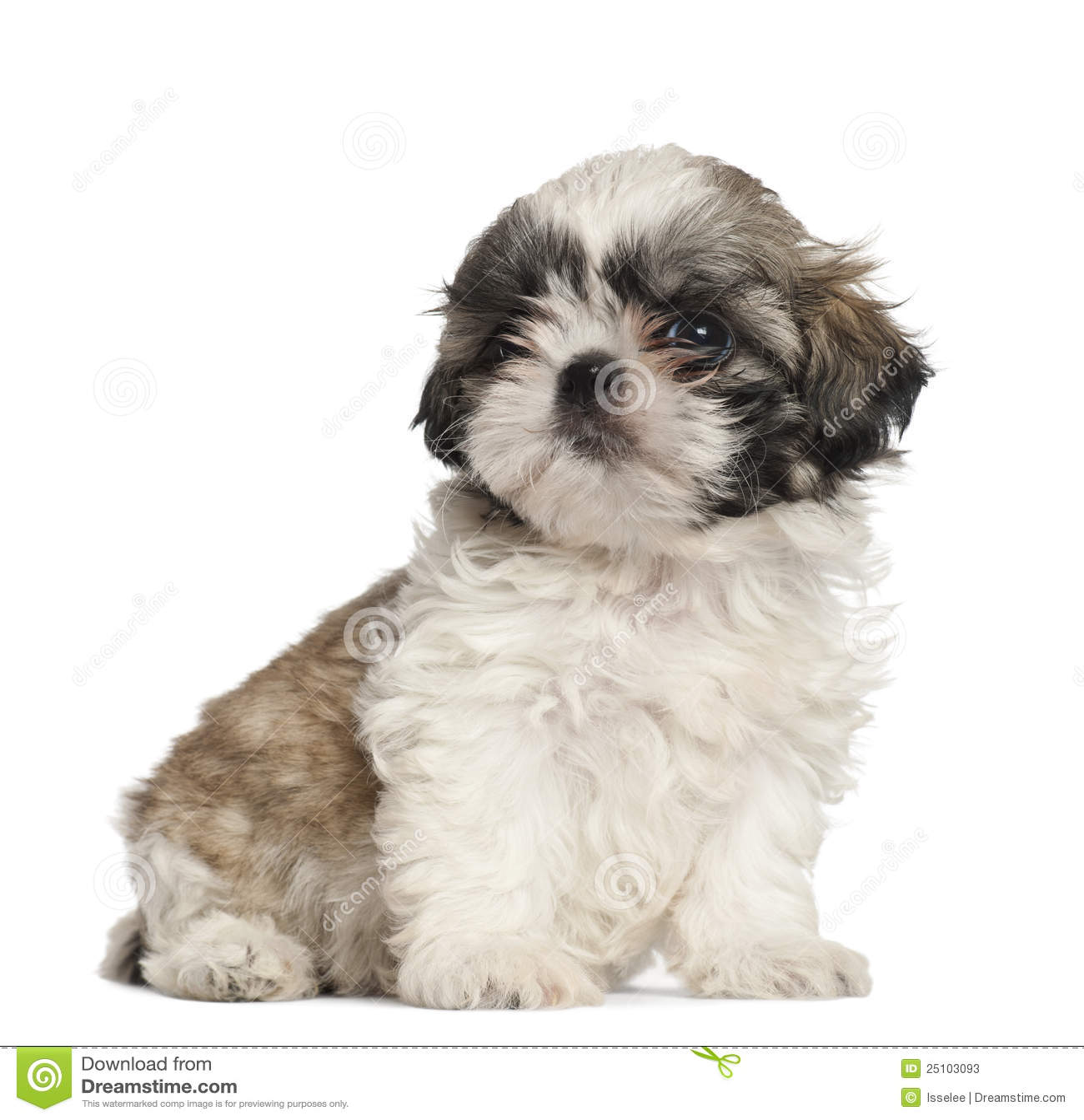 Shih Tzu Puppy, 2 Months Old, Sitting Stock Photos - Image: 25103093