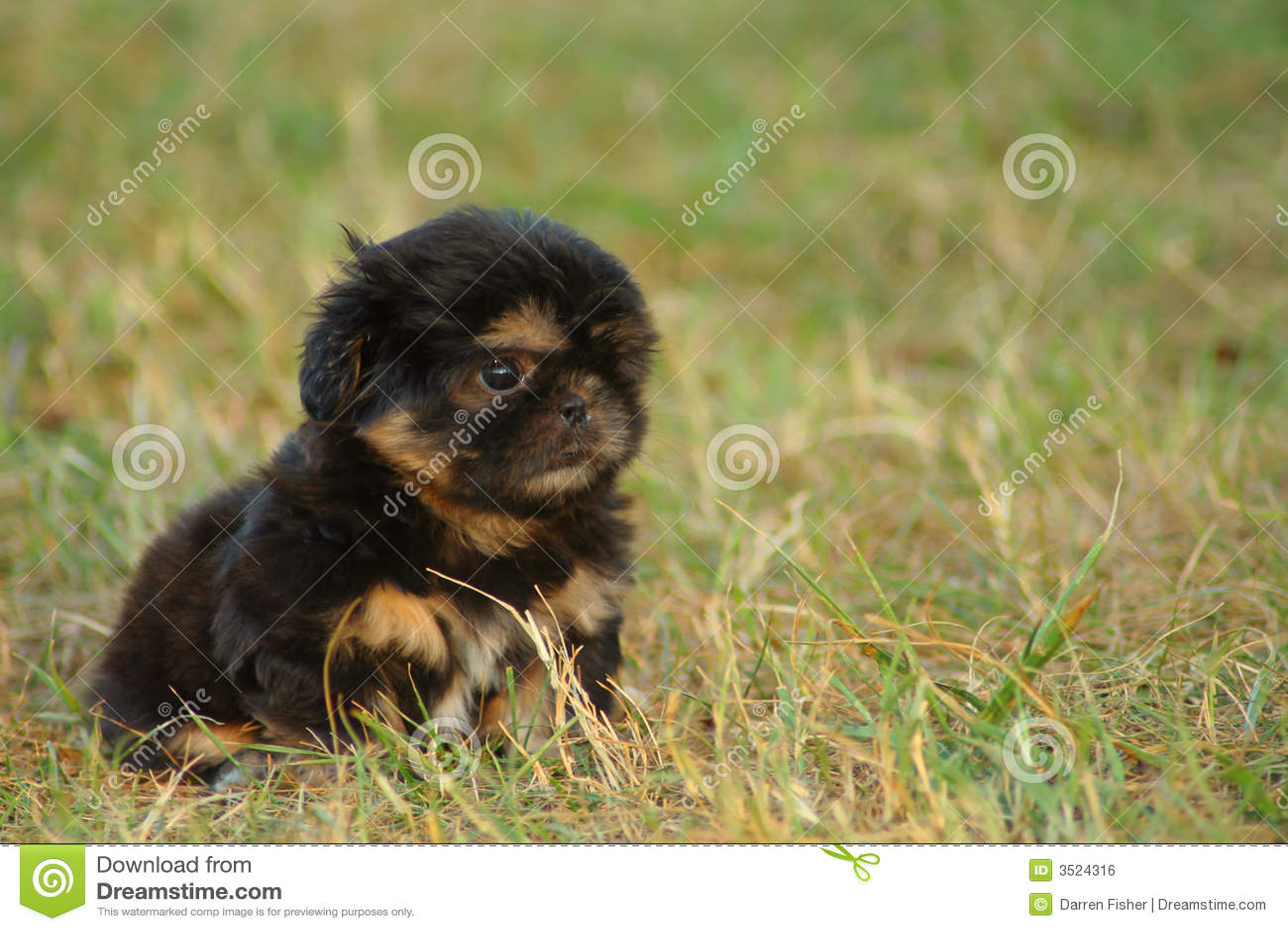 Shih Tzu Puppy Royalty Free Stock Image - Image: 3524316