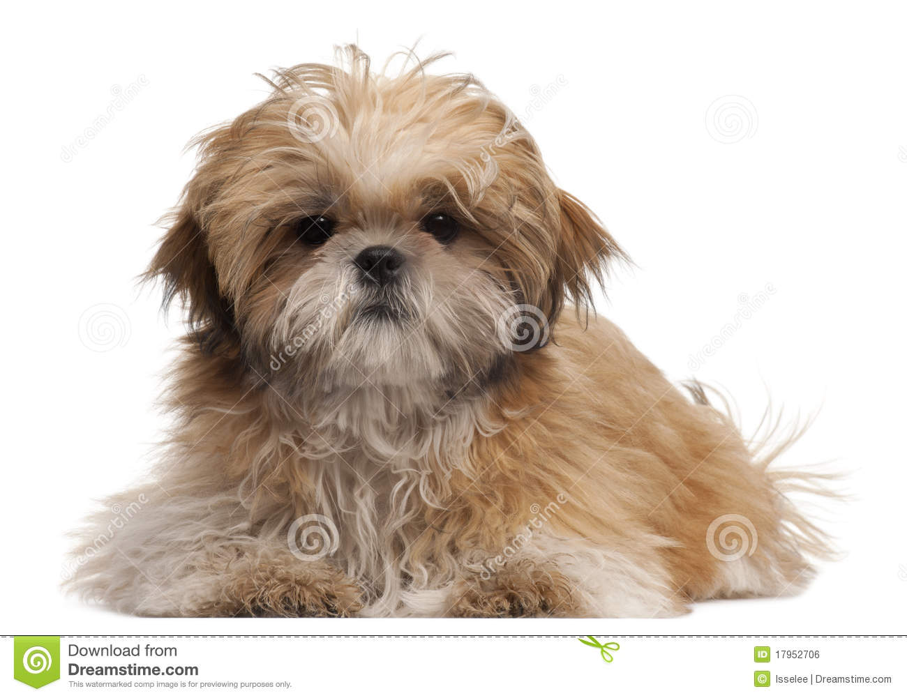 Shih Tzu Puppy 6 Months Old Lying Stock Photo Image Of Alert