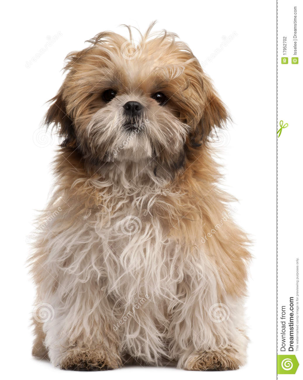 6 month old shih tzu shih tzu puppy 6 months old sitting stock photo image 1963