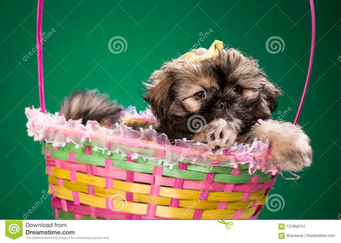 Shih Tzu Puppy In A Basket On Colored Background Stock Image Image