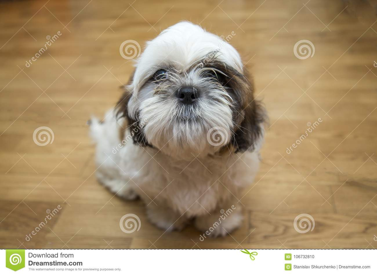 Shih Tzu Puppy Breed Tiny Dog Age 6 Month Playfulness Loveliness Stock Photo Image Of Young Front 106732810
