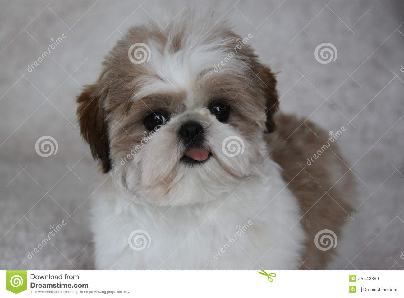 Shih Tzu Puppy Stock Photo Image 55443889