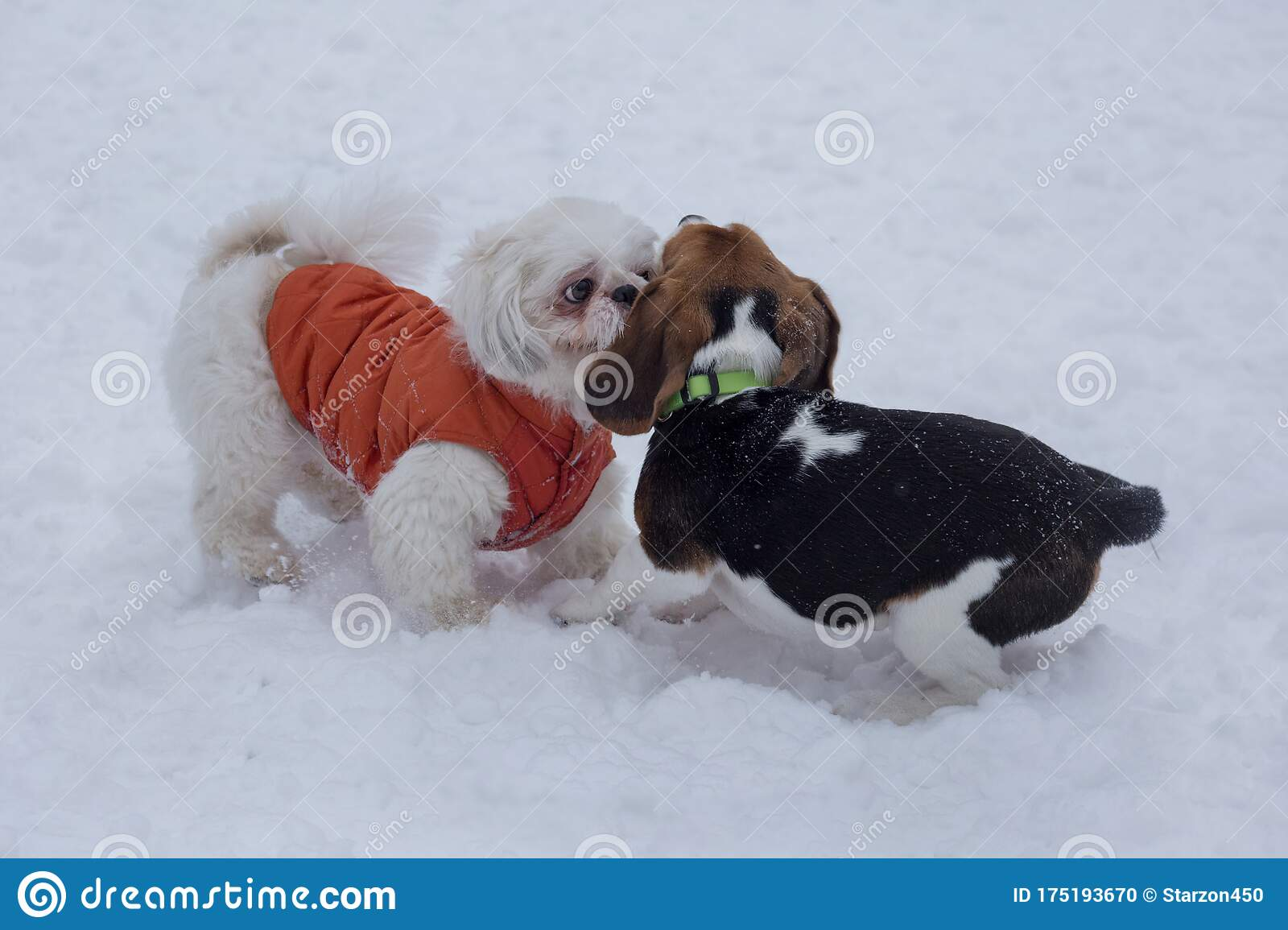 Shih Tzu Puppy And English Beagle Puppy Are Playing On A White Snow In The Winter Park Stock Photo Image Of Horizontal Lion 175193670
