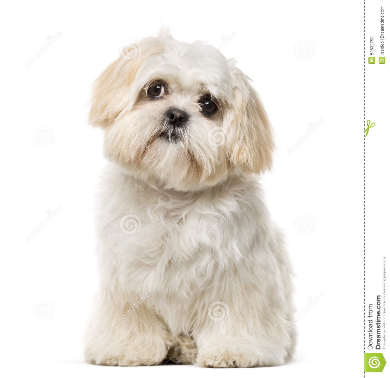 Shih Tzu Puppy In Front Of A White Background Stock Photo Image Of